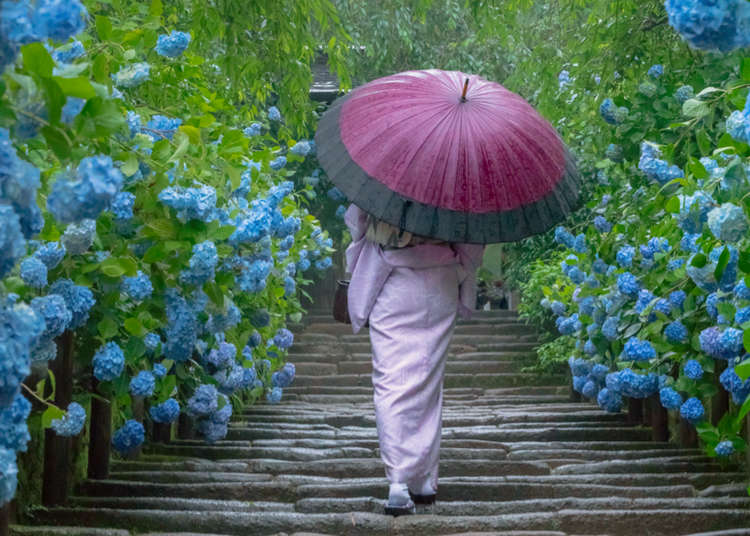 Kamakura's Famous Hydrangea Temple: Walk Among Flowers in Japan's Ancient Capital