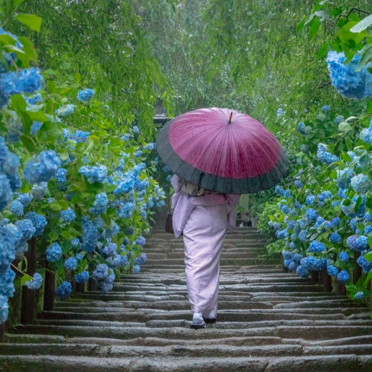Kamakura's Famous Hydrangea Temple: Walk Among Flowers in Japan's Ancient Capital