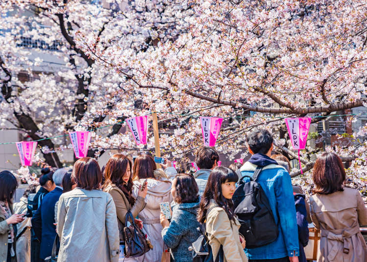 Japan's Sakura Culture Q&A – Everything You Need to Know about cherry blossoms in Japan!