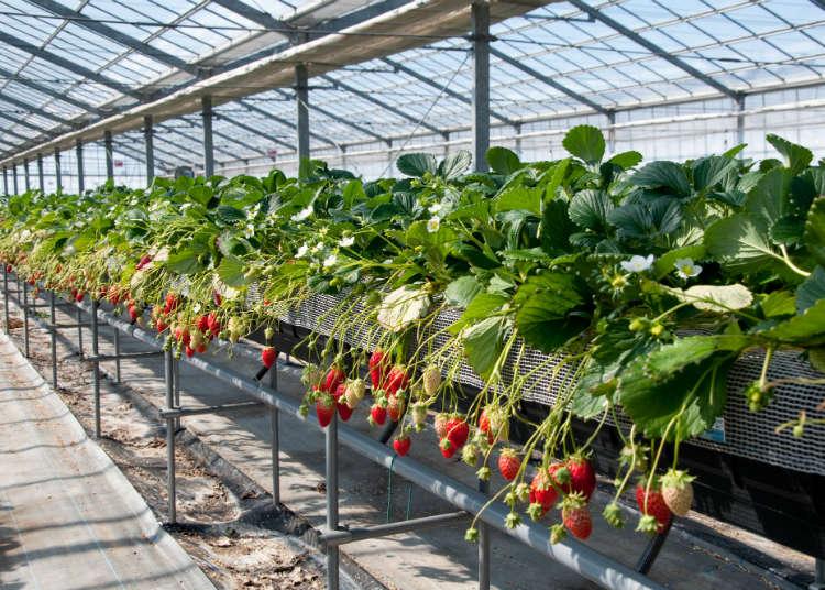 沒預約也OK!3間可當日來回的東京周邊採草莓景點設施