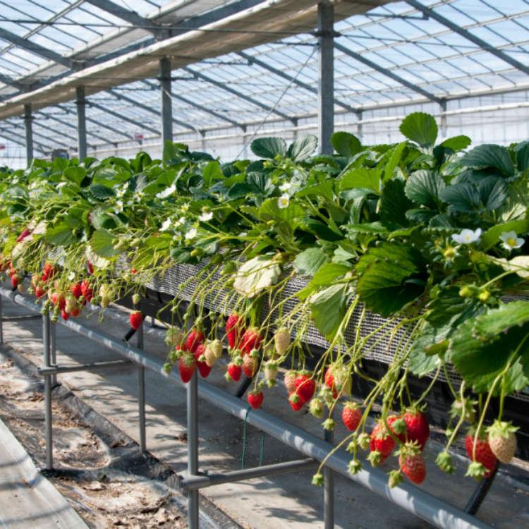 沒預約也OK!3間可當日來回的關東採草莓景點設施
