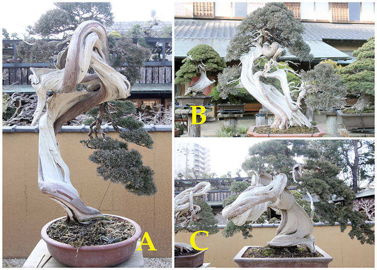 The Chinese Juniper Bonsai Challenge: The Tree Value Ranking