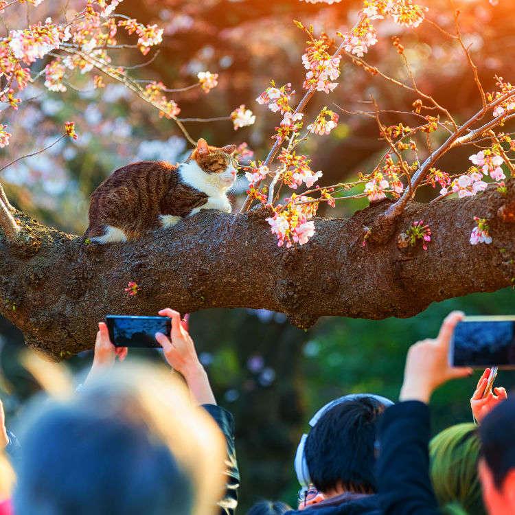 7 Secrets for Snapping Perfect Photos of Sakura