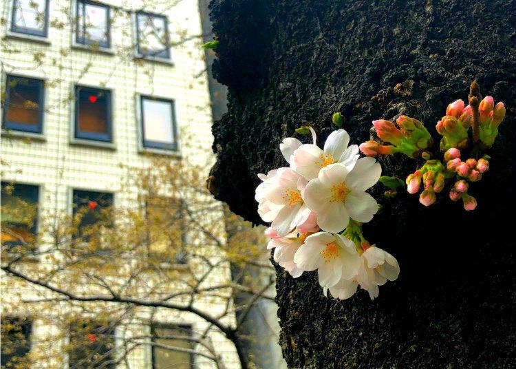 Sakura Photo Tips #3. Plan around overcast weather