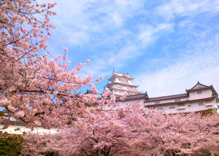 Himeji Castle (Hyogo Prefecture) - Ranked #1 in 2018 for best cherry blossoms in Japan!