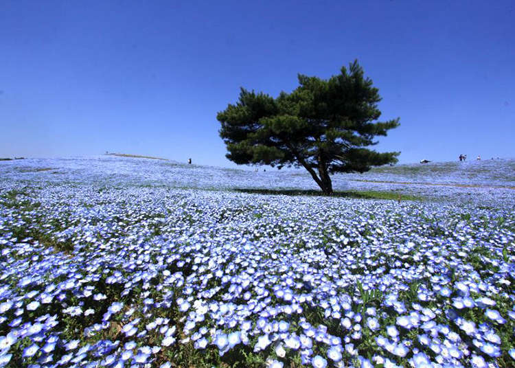 [MOVIE] A Sea of Flowers: Hitachi Seaside Park Offers Japan's Other Spring Phenomenon