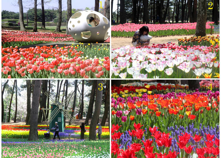 Movie a sea of flowers hitachi seaside park offers japans other about 1 million daffodils of 500 different varieties provide for yet another colorful spell that hitachi seaside park is going to cast in you mightylinksfo
