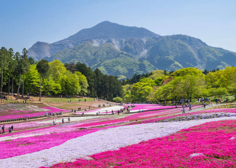 2018年、最新情報!羊山公園・芝桜の丘の芝桜徹底紹介!
