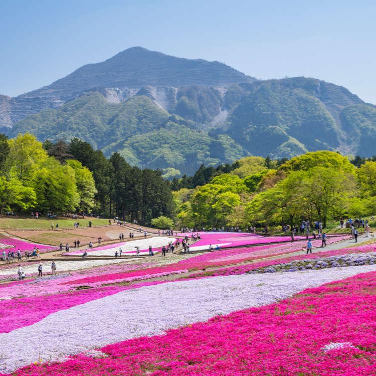 [Movie] Moss Phlox at Hitsujiyama Park: The Stunning Beauty of Shibazakura! [2018]