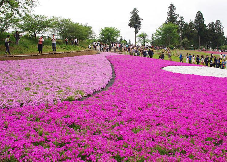 Hitsujiyama Park's Moss Phlox Hill