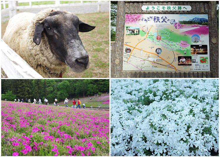 Hitsujiyama Park Beyond the Moss Phlox