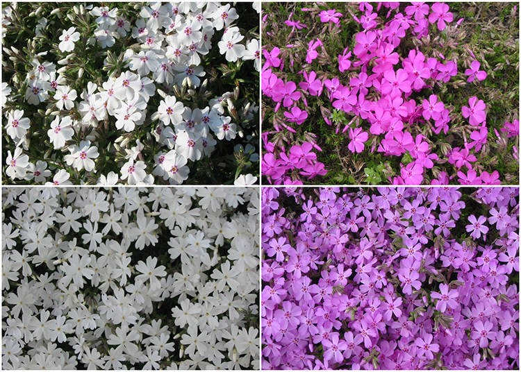 徹底ルポ3!園内にある9種類の芝桜。