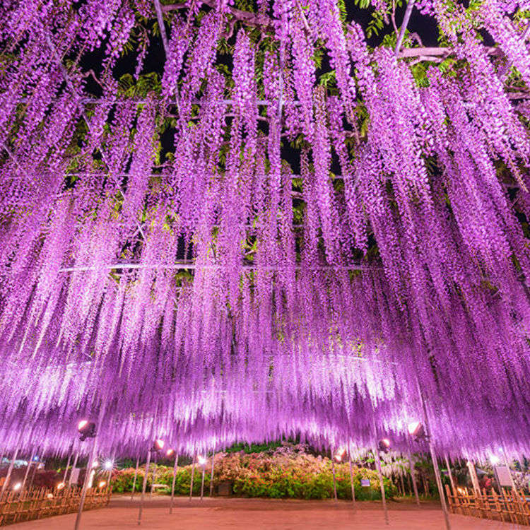 [Movie] Ashikaga Flower Park: a Breathtaking Wisteria Wonderland and a CNN Dream Destination