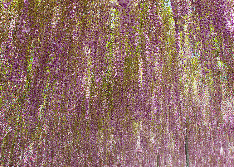 Breathtakingly Beautiful: the Absolute Must-See Wisteria Spots
