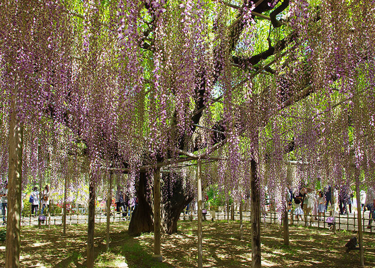 Wisteria Galore: How to Take the Best Pictures
