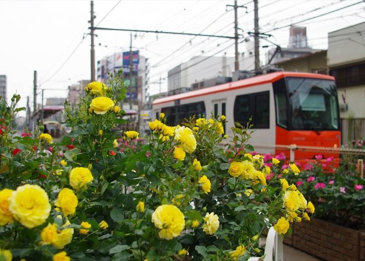 Rose Viewing Spot #4: Flowerbeds in Front of Machiya Station