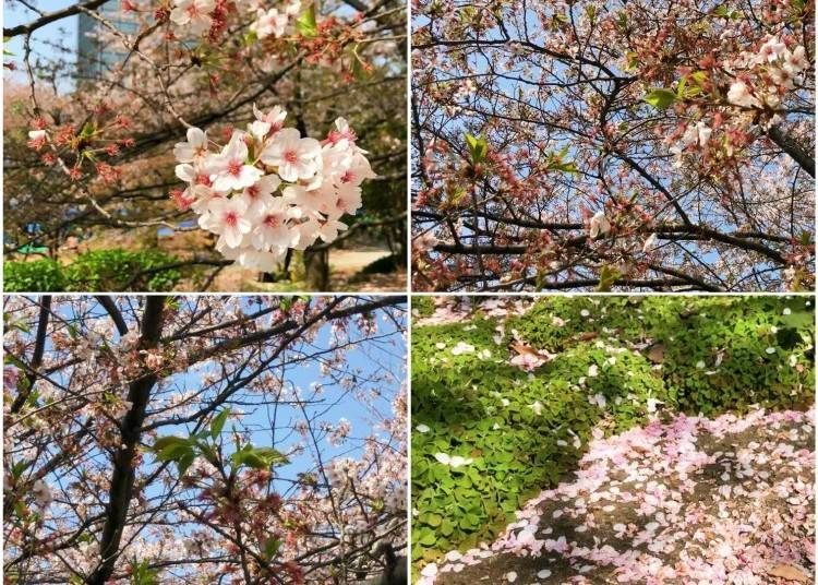 What is there to see in Tokyo in April?