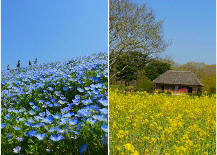 Nemophilia coming into bloom at Hitachi Seaside Park!