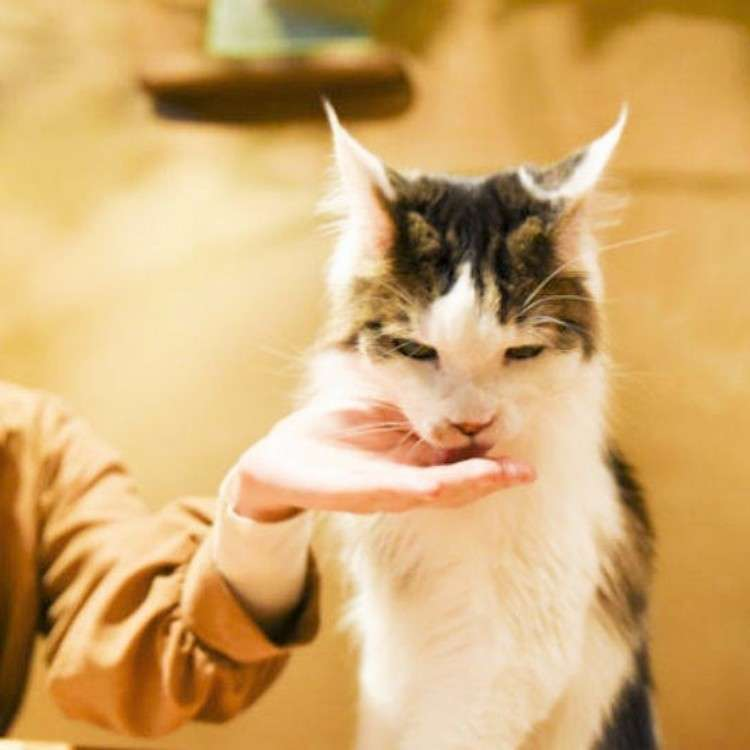 """Visiting Tokyo Cat Cafe """"Temari no Ouchi"""" - Cute and Fluffy, Just Like a Picture Book!"""