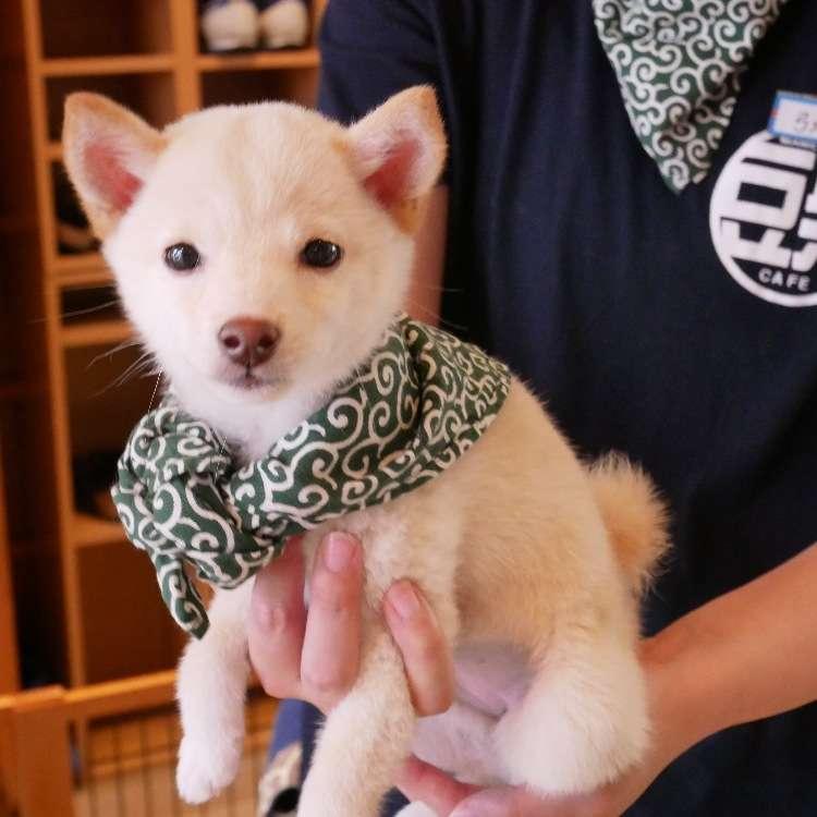 也太可愛了吧!犬迷們的超療癒天堂 東京原宿乃豆柴咖啡廳