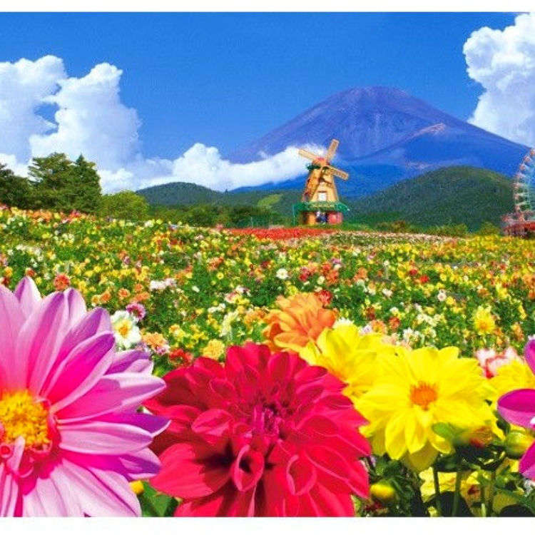 Don't Miss This Spectacular Flower Fantasy! 30,000 Dahlias Right in Front of Mt. Fuji!