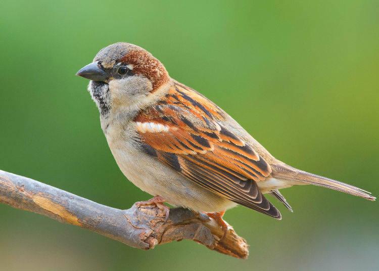 """Suzume no Namida (雀の涙)"" - A Sparrow's Tears"