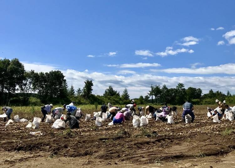 3. Atsuma: First-Hand Farming Experiences with Potato Digging and Rice Field Cultivation!