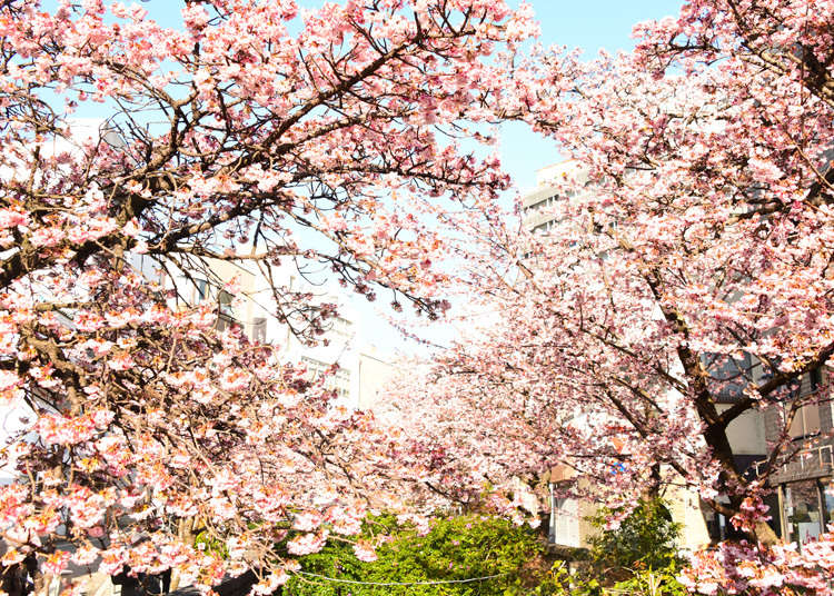 Atami Sakura - Check Out Japan's Early Blooming Cherry Blossoms Near Tokyo!