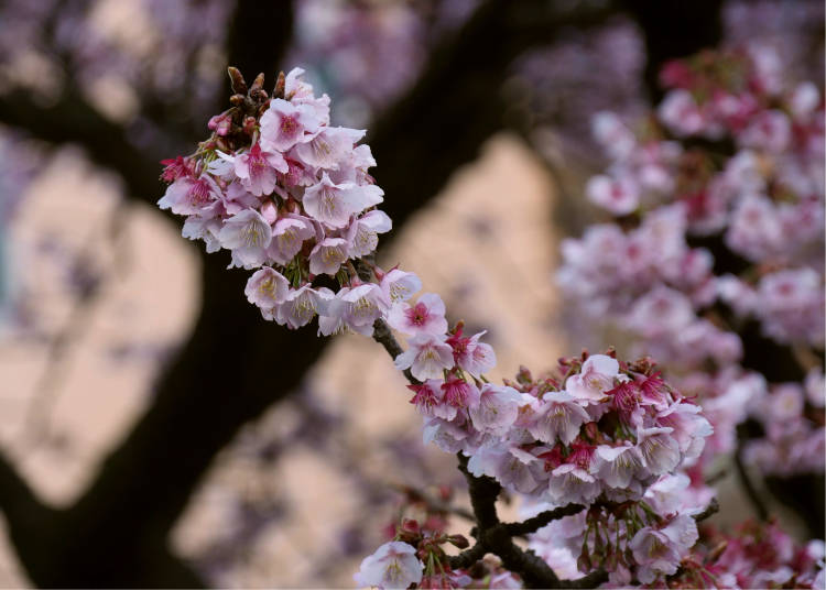 Where can I see Atami's cherry blossoms?