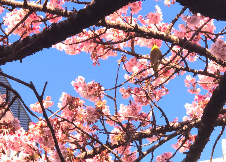 What time is best to see Atami sakura? Enjoy Atami cherry blossoms throughout the day!