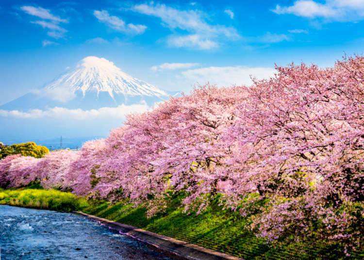 The Best Time of Year To Visit? 15 Reasons We Love Spring in Japan!