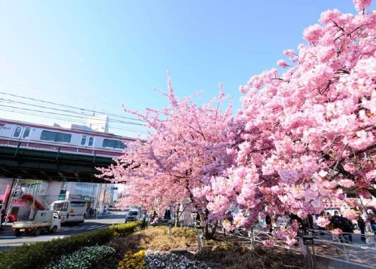 这个春天就去三浦河岸赏河津樱,还要拿京急原创周边商品!东京出发1小时可到的早开樱胜地~