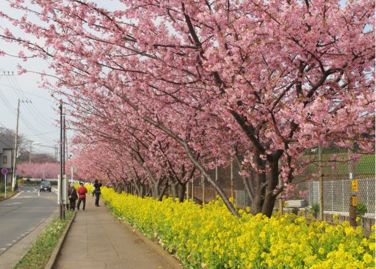 What are Kawazu-zakura?