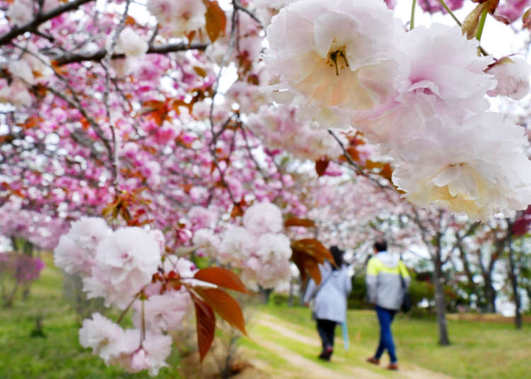 Late Bloomer? Last Spots for Seeing Cherry Blossoms around Tokyo for Latecomers