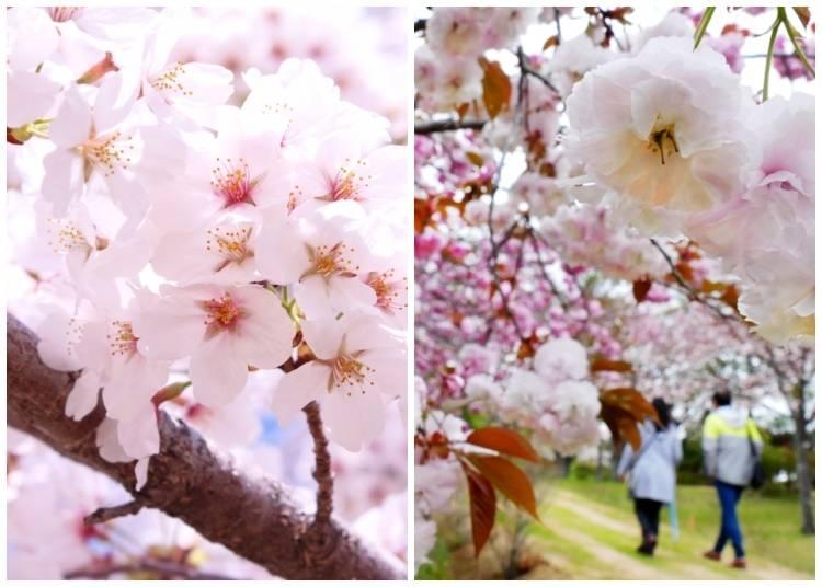 Quick word: Know your sakura!