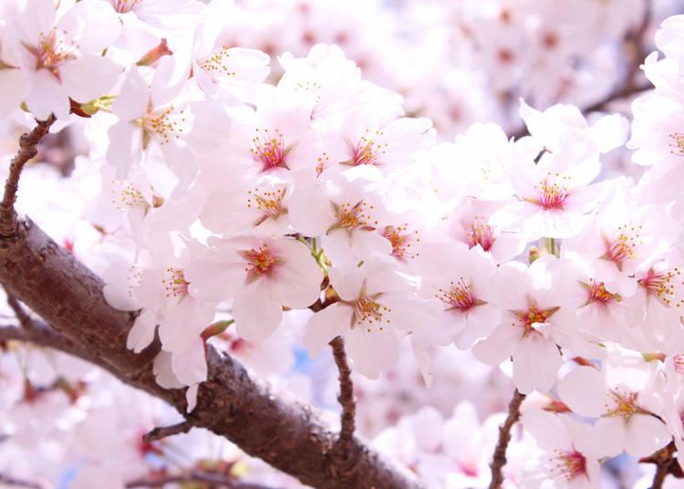 Tochigi Prefecture (Average flowering date: April 1)