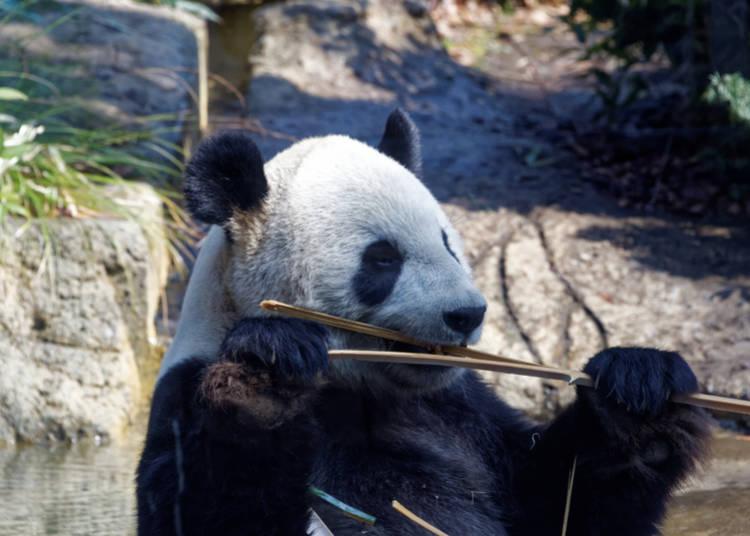 5. Ueno Park Panda Cam