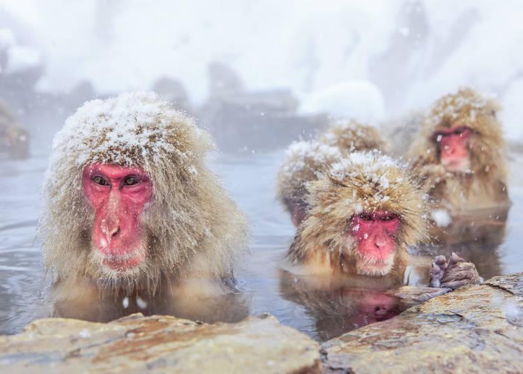 20. Japanese Wild Snow Monkeys