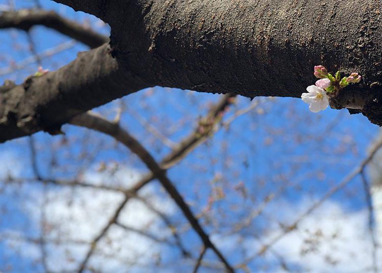When does cherry blossom festival season start in Tokyo?