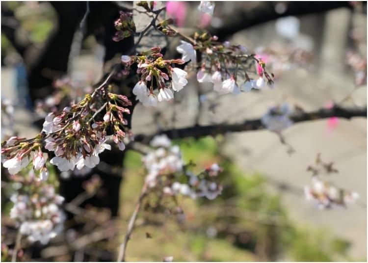 5. Sumida Park Cherry Blossoms