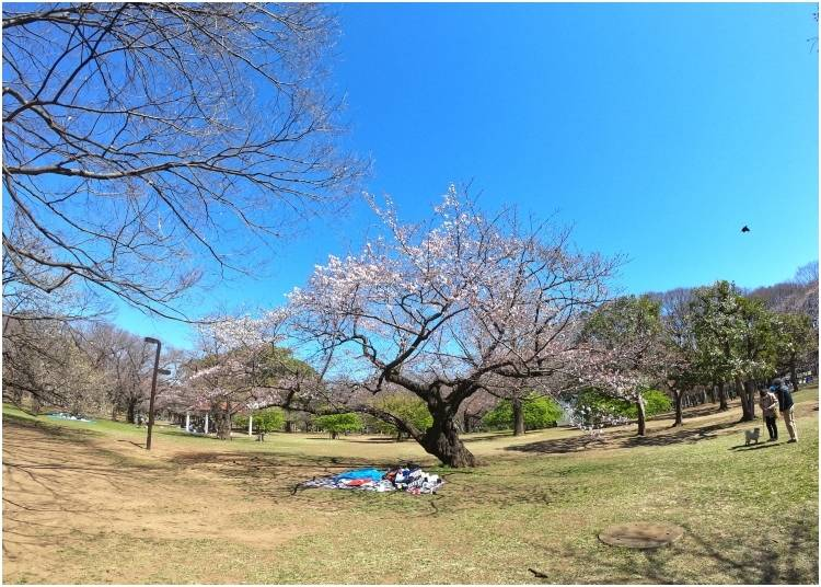 2. Yoyogi Park: Open area to celebrate your own cherry blossom festivals in Japan!