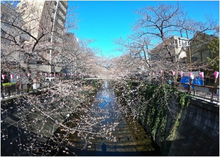 1. Nakameguro: Perfect Spot for Japan's Cherry Blossom Festival!
