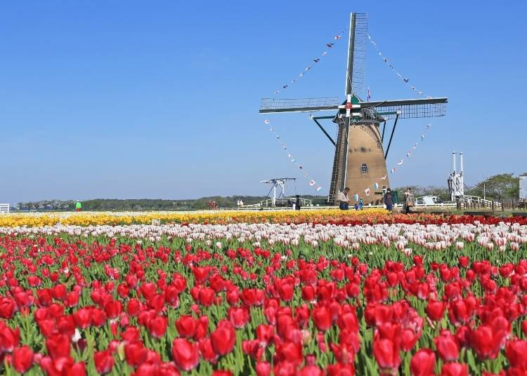 Visit one of Japan's most famous tulip festivals - right near Tokyo