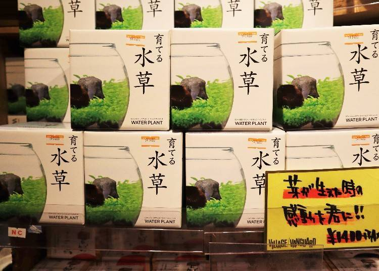 """Recommendation 3: """"Grow-your-own-water-plant Set"""" (1,400-yen tax exclusive)"""