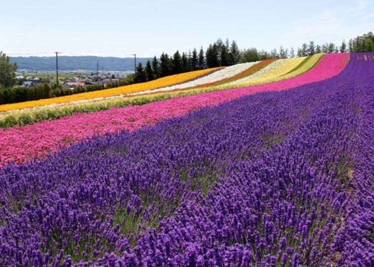 Best time to visit the Lavender Fields of Furano! Top Six Selection