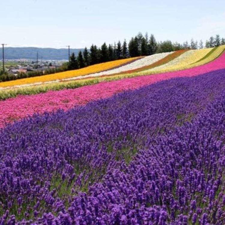 北海道「富良野」薰衣草田,最佳賞花期與六大精選賞花地點