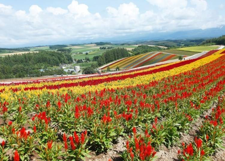 Colorful fields of flowers sprawling throughout the hills: Panoramic Flower Gardens Shikisai-no-oka!