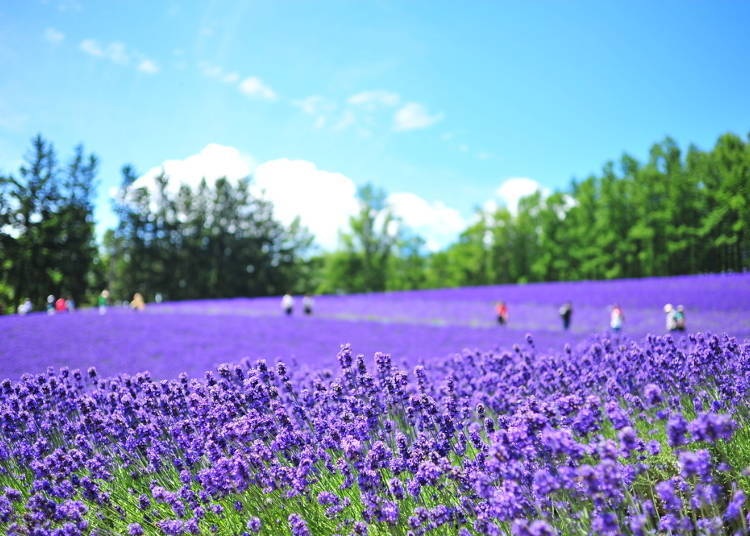 Planning your day trip from Sapporo! The Furano lavender and Biei hill drive