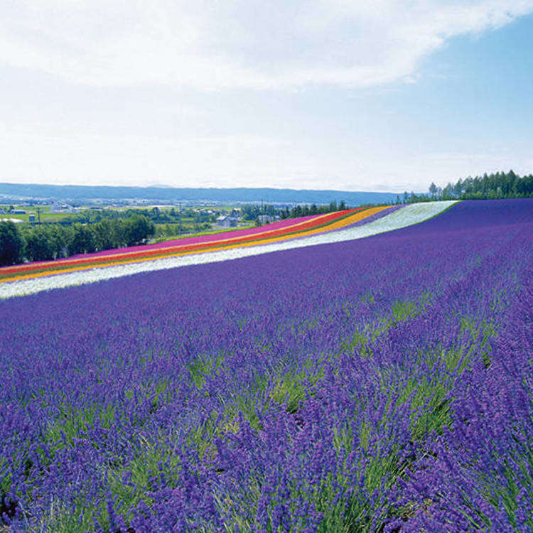 Late June to Early August is the Best Time to View Lavender! Farm Tomita Comprehensive Flower Field Guide
