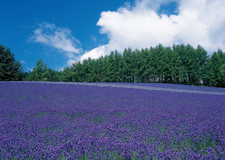 Explore the Three Lavender Fields#1. Traditional Lavender Field